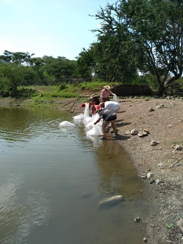 Se Gestionaron 200,000 Alevines de Tilapia Para ser Sembradas en la Presa de #Hermiltepec